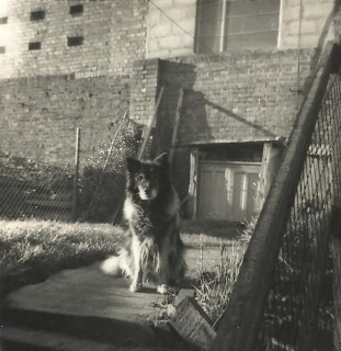 The Invicta leatherworks had been built behind the houses in the lower part of Rampart Road, two windows overlooking Numbers 14 and 16. This photograph shows our neighbours' dog sitting in front of the window above the garden of Number 14. | Picture by kind permission of the Jacob family